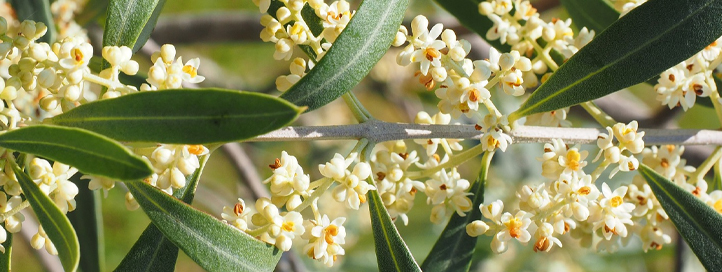 Alergia olivarera