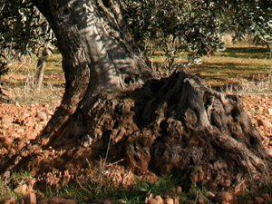 aceite de oliva de olivos centenarios