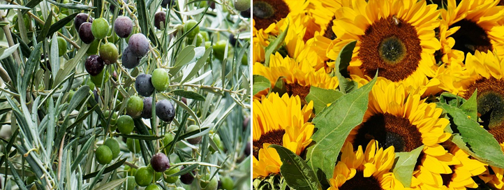 aceite de oliva o aceite de girasol