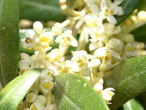 Aceite de oliva monovarietal