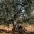 Cuidado de un olivo