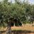Cuidados-de-un-olivo