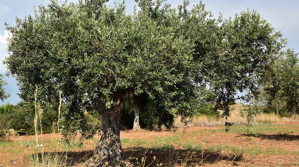 Cuidados de un olivo