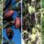 Variedades de aceite de oliva
